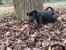 Black puppy playing in autumn leaves. Adorable black puppy, playing in reddish autumn leaves. Dog looking at camera/person Stock Photo