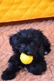 Black puppy Stock Photography