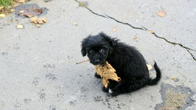 Black puppy Royalty Free Stock Photography