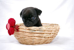 The black puppy of a pug sits in a wattled basket with a red bow Stock Photos