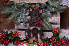 Black puppy with a red bow Stock Image