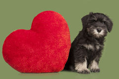 Black puppy and red heart Stock Photography
