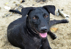 Black puppy relax after play on the beach Stock Image