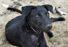 Black puppy relax after play on the beach Stock Images