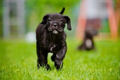 Black puppy running Stock Photo