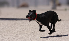 Black puppy running through the park. A black puppy running through the park with his tongue hanging out stock images