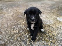 The black puppy sits waiting for owner. stock photos