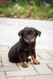 Black puppy sitting looking to camera Stock Photo