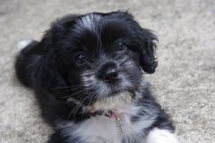 black puppy sitting white 免版税图库摄影