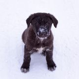Black puppy in the snow Stock Image