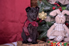 Black puppy and toy bunny. And Christmas tree Stock Image