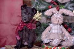 Black puppy and toy bunny. And Christmas tree Stock Photos