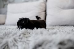 Black puppy toy terrier sitting on a sofa royalty free stock photos