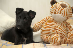 Black puppy and toys Royalty Free Stock Photography