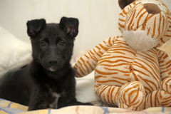 Black puppy and toys Stock Image