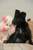 Black puppy and toys Royalty Free Stock Image