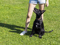 Black puppy training with young woman. Summer green grass lawn Stock Photos