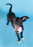 Black puppy with white spot standing and licked on blue Royalty Free Stock Photography