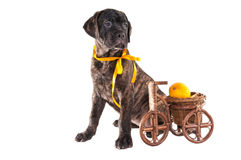 Black puppy with a yellow ribbon Stock Photography