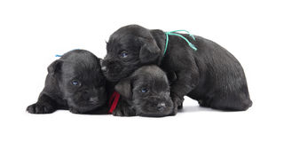 Black puppys of Miniature Schnauzer Stock Photo