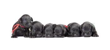 Black puppys of Miniature Schnauzer Stock Photography