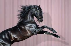 Free Black Pura Spanish Horse Rearing On Striped Background. Royalty Free Stock Photography - 127895317