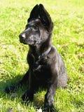 Black pure bred german shepard puppy. Black german shepard looking attentive Royalty Free Stock Photo