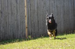 Black purebred German Shepard female licking her lips while running to her owner Stock Photos