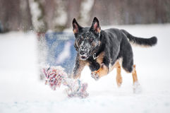 German shepherd running to catch a toy  in winter Stock Photos