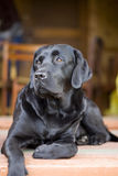 Black purebred labrador Royalty Free Stock Photos