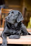 Black purebred labrador. The black purebred labrador Retriever Stock Photos