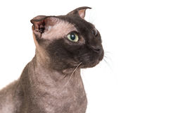 Black purebred sphinx cat Stock Image