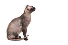 Black purebred sphinx cat Royalty Free Stock Photography