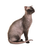 Black purebred sphinx cat Royalty Free Stock Images
