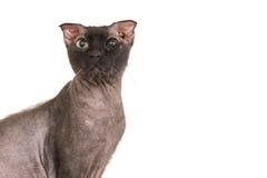 Black purebred sphinx cat Royalty Free Stock Photo