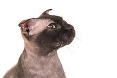 Black purebred sphinx cat Stock Image