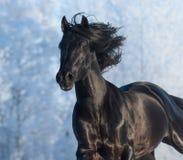 Black purebred stallion - portrait in motion. Black purebred horse running fast gallop Stock Photo