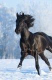Black purebred stallion running fast gallop. Black purebred horse running fast gallop across a winter snowy field Royalty Free Stock Photo