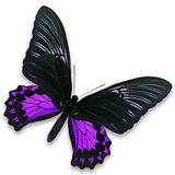 Black and purple butterfly. A beautiful black and purple butterfly isolate on white background stock images