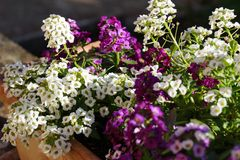 Black and Purple Flowers. Nice colored flowers, under the summer lights Royalty Free Stock Photography