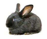 Black rabbit Stock Photo