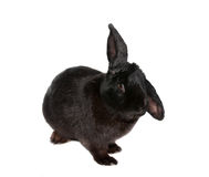 Black rabbit Stock Photos