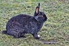 Black Rabbit Royalty Free Stock Images