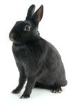 Black rabbit Stock Photography
