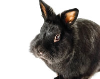 Black rabbit. Stock Photo