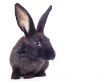Black rabbit Stock Image