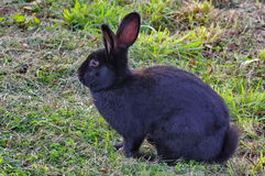 Wild animal. Black rabbit Stock Image
