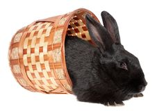 Black rabbit in a basket. Royalty Free Stock Images