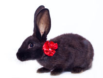 Black rabbit with bow Stock Photography