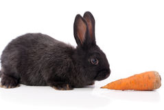 Black rabbit with carrot Royalty Free Stock Photos